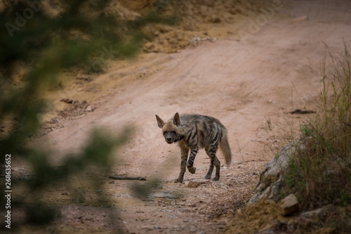 Poster Hyène A wild encounter with walking Striped hyena (Hyaena hyaena) on a jungle trail at ranthambore national park, rajasthan, india