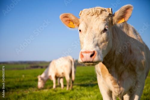 La pose en embrasure Vache Vache type Blonde d'aquitaine dans les champs