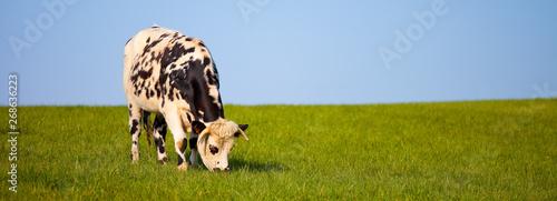 Vache Vache type Normande dans les prés
