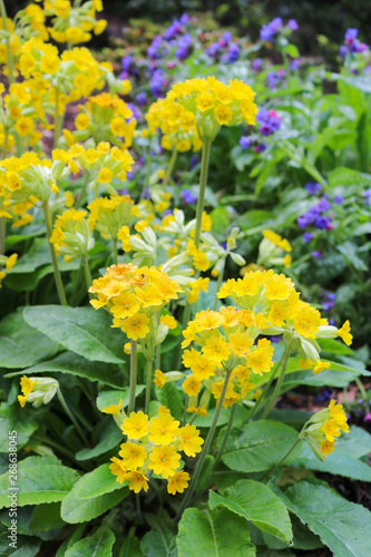 Yellow flowers primula algida Canvas-taulu