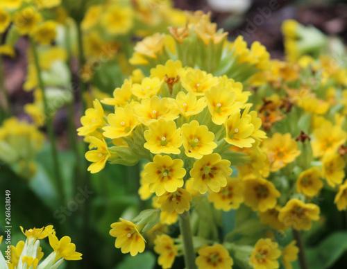 Fotografie, Obraz  Yellow flowers primula algida