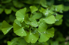 Closeup Of Rain Drops On Ginkgo Biloba Leaves