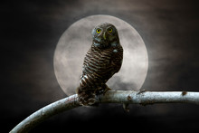 Owl Perching On A Branch And B...