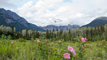 Panoramic View Of The Robson Mountain And The Bushes Of Wild Roses, British Columbia, Canada