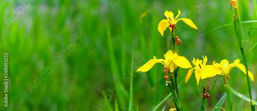 Fotobehang Iris Panorama view of yellow flag iris on green color bokeh background, yellow iris, iris pseudacorus