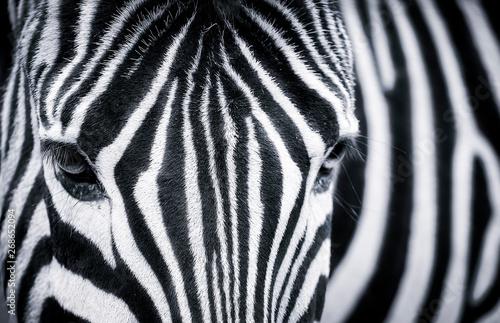 Fototapeta Detailed black and white closeup of a zebra obraz na płótnie