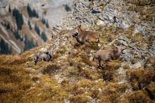 Interlaken Mountain Goats