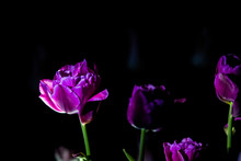 Bright And Unusual Tulips On A...