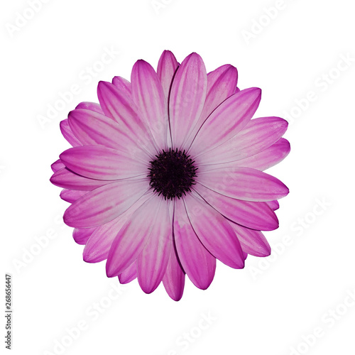 Foto op Aluminium Gerbera Flower Marguerite africaine, Arctotis on white background