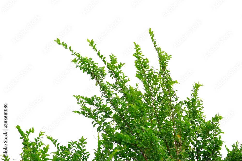 Fototapety, obrazy: Tropical tree leaves with branches on white isolated background for green foliage backdrop