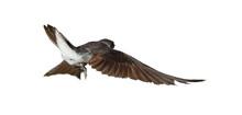 Sand Martin, Swallow In Flight  Isolated On White Background, Riparia Riparia