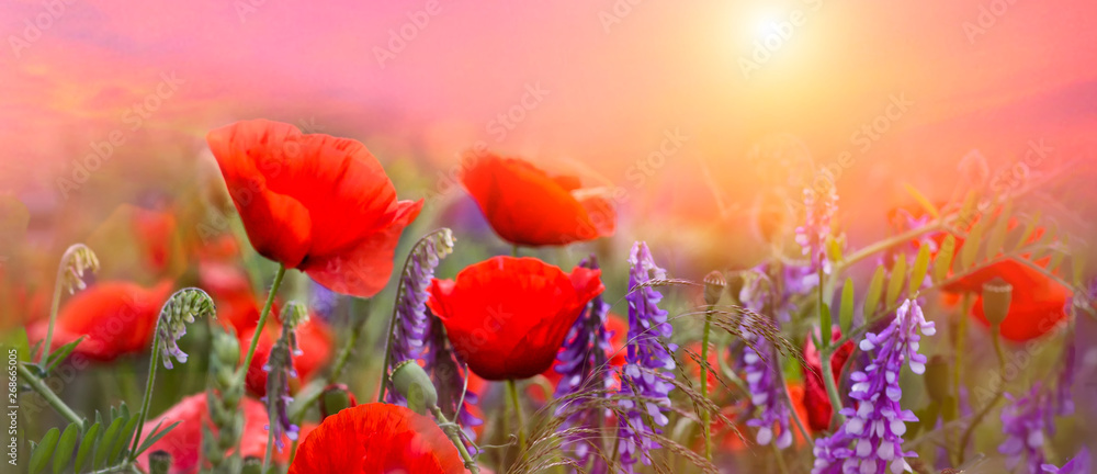 Fototapety, obrazy: Spring poppies flowers primroses on a beautiful pink background macro. Blurred gentle sky background. Floral nature background, free space for text. Romantic soft gentle artistic image. Panoramic