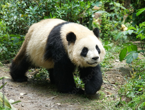 Giant panda walking on the ground in the bush Canvas Print
