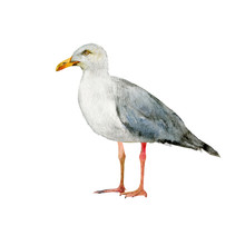 Seagull Realistic Watercolor