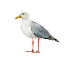 Seagull Realistic Watercolor