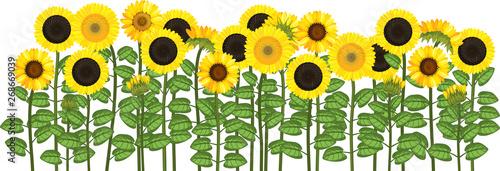 Fototapeta Yellow sunflower field isolated on white background