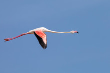 Greater Flamingos, Phoenicopte...