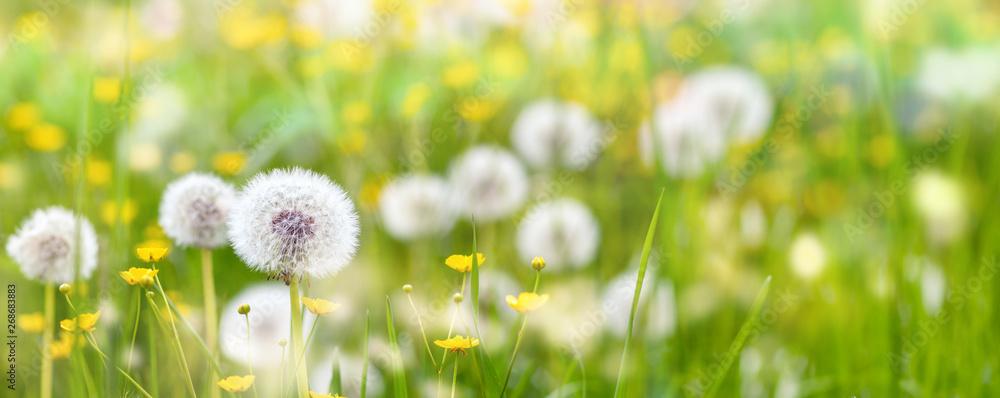 Fototapeta Banner Pusteblumen auf einer Wiese mit Butterblumen