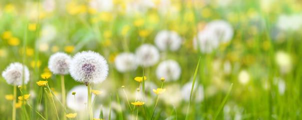 Banner Pusteblumen auf einer Wiese mit Butterblumen