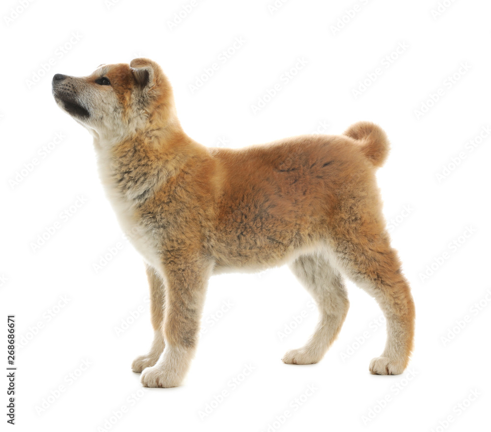 Fototapety, obrazy: Cute akita inu puppy isolated on white