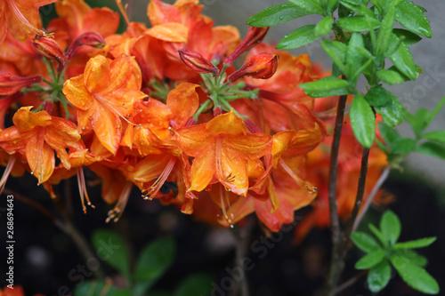 Obraz na plátně Azalée Mollis Orange