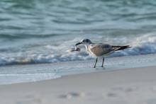 Juvenile Laughing Gull (Leucop...