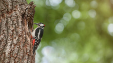 Great Spotted Woodpecker With ...