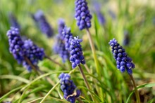 Blue Muscari Flower In The Garden During Spring. Slovakia