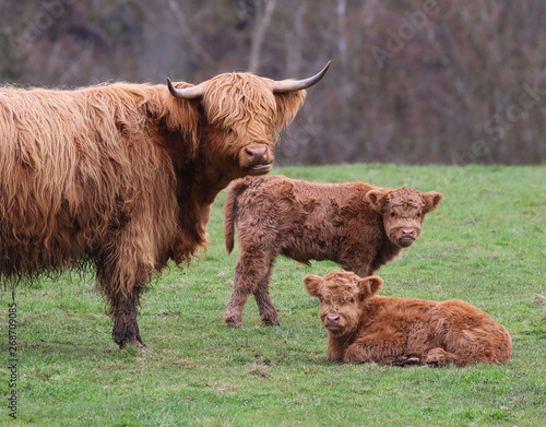 Fototapeta Highland Cow with Calfs in a field obraz