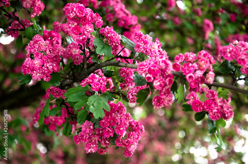 Fototapeta Lagerstroemia L., crape myrtle pink petals. Floral background of pure pink flowers on the branches with green leaves obraz