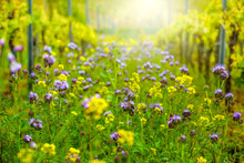 Frühlings Blumenwiese In Weinberg