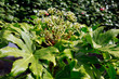 Zimmeraralie (Fatsia japonica)