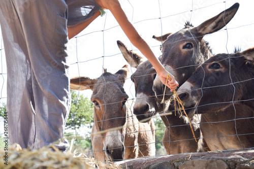Fototapeta  Donkey