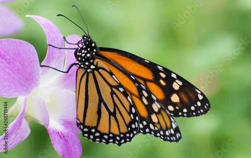 Butterfly 2019-8 / Monarch butterfly (Danaus plexippus)  On purple flower