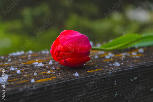 Red tulip on a wooden table covered with large snowflakes and hail.