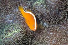 Skunk Clownfish Or Nosestripe Anemonefish (Amphiprion Akallopisos)