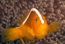 Skunk Clownfish Or Nosestripe ...