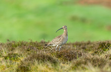 Curlew. Adult Curlew In The Yorkshire Dales During The Nesting Season.  Blurred Green Background.  Stood In Heather On A Grouse Moor.  Landscape, Horizontal.  Space For Copy.