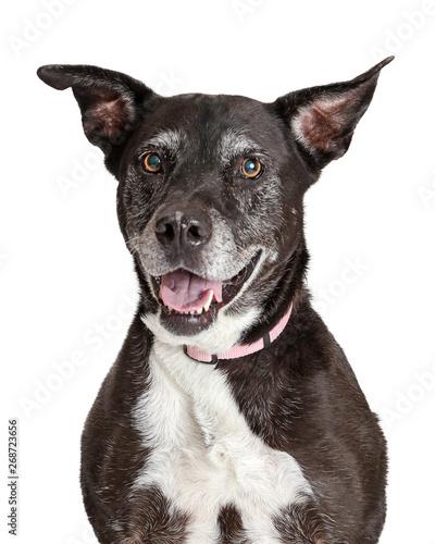 Fotomural  Happy Old Large Dog Closeup