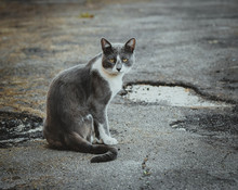 Gray White Cat Sitting On The Pavement. Homeless Sad Wistful Lonely Stray Cat On The Background Of The Asphalt. Watching From Both Sides