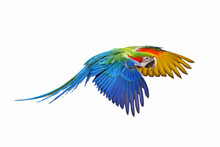Colorful Flying Parrot Isolated On White Background