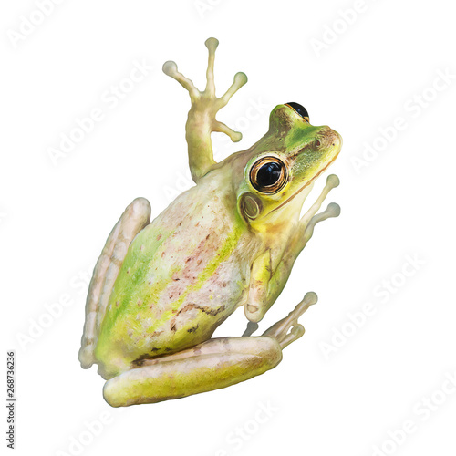Tree Frog watercolor on white background Wallpaper Mural