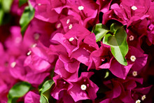 Beautiful Bougainvillea Flower...