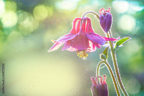 Photo A wild columbine in the early morning in the backlight.