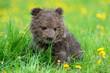 Leinwandbild Motiv Brown bear cub playing on the summer field
