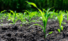Close-up Green Corn Sprouts Planted In Neat Rows. Copy Space, Space For Text. Agriculture. Ukraine