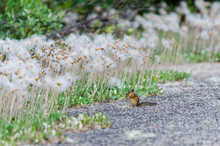 Golden Mantled Squirrel Canada