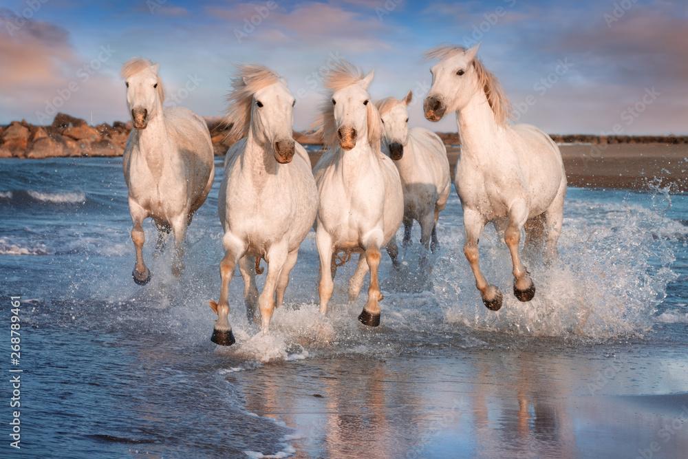 Fototapety, obrazy: White horses in Camargue, France.