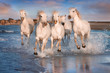 canvas print picture - White horses in Camargue, France.