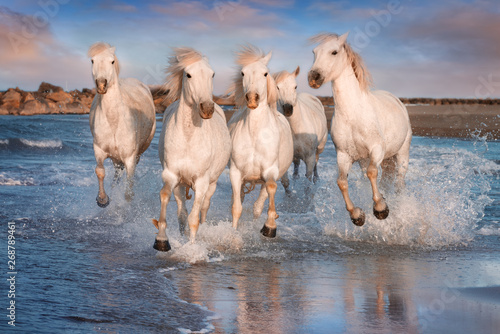 White horses in Camargue, France. - 268789461